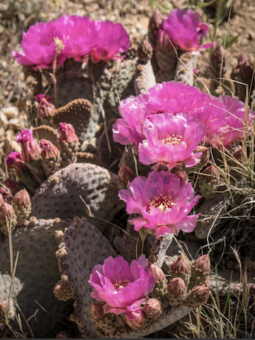 mojave flowers pic